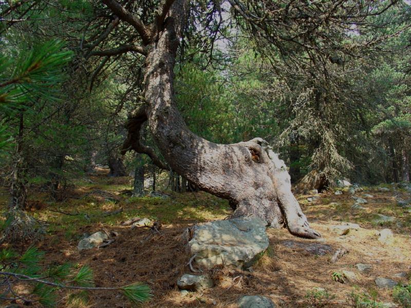 pino-cembro-tronco-jpg